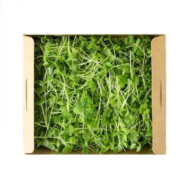 Arugula & Kale Microgreens Mix- Madar Farms