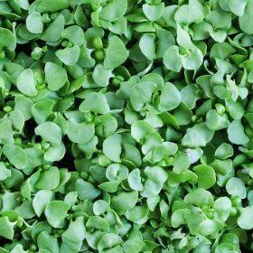 Genovese Basil Microgreens - Madar Farms